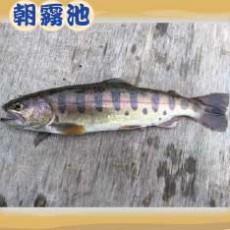 魚種:山女魚 サイズ: 20~26cm