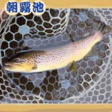 魚種:ブラウン サイズ: 35〜60cm